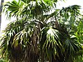 Starr-120522-6392-Thrinax parviflora-crown-Iao Tropical Gardens of Maui-Maui (24775919779).jpg