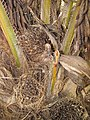 Starr-120702-7946-Elaeis guineensis-fruit-USDA Plant Materials Center-Molokai (25186341335).jpg