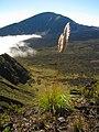 Starr-121018-1023-Cortaderia jubata-seeding habit view Koolau Gap and Hanakauhi-Halemauu Trail HNP-Maui (25167976236).jpg