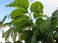Starr-121108-0846-Canarium ovatum-leaves-Pali o Waipio-Maui (25103234951).jpg