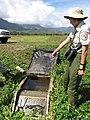 Starr-130322-3812-Sonchus oleraceus-habitat with Kim Uyehara cheking out fish exclusion device-Hanalei NWR-Kauai (25209747665).jpg