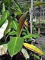 Starr-130516-4472-Musa x paradisiaca-Maia Lele reddish brown leaf unfurling-Maui Nui Botanical Garden-Maui (24580342914).jpg