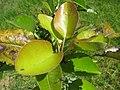 Starr-130809-2934-Pyrus communis-Cv Hood leaves-Kula-Maui (25233475166).jpg