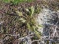Starr-150328-0065-Polypogon monspeliensis-seeding habit-Old Fuel Farm Sand Island-Midway Atoll (25242327036).jpg