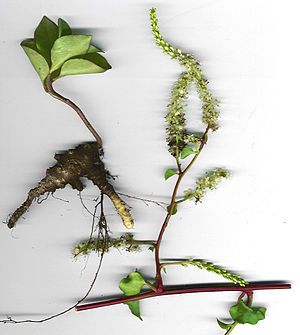 Tuber - Flowers and tuber of Anredera cordifolia