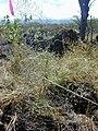 Starr 030424-0017 Acacia koaia.jpg