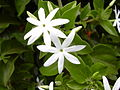 Starr 030602-0069 Jasminum multiflorum.jpg
