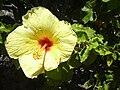 Starr 030702-0057 Hibiscus rosa-sinensis.jpg