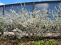 Starr 041028-0231 Leucophyllum frutescens.jpg