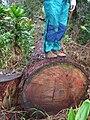 Starr 050107-2859 Eucalyptus sp..jpg