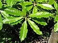Starr 050216-4057 Pittosporum undulatum.jpg
