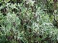Starr 070208-4342 Artemisia australis.jpg