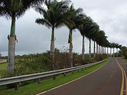 Tropischer alleebaum mit gefiederten blättern