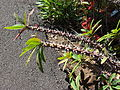 Starr 071024-0212 Euphorbia milii.jpg