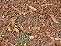 Starr 080715-9224 Macadamia integrifolia.jpg