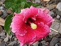 Starr 080716-9288 Hibiscus rosa-sinensis.jpg