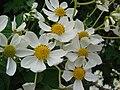 Starr 081230-0658 Montanoa hibiscifolia.jpg