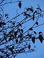 Starr 090213-2433 Eugenia uniflora.jpg