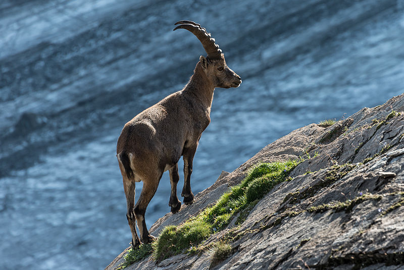 The Alpine ibex (Capra ibex), or Steinbock, in National Park