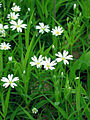 Stellaria holostea002.jpg