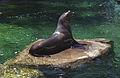 Steller Sea Lions(Vancouver)02(js).jpg