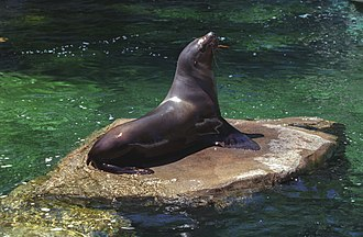 Sea lion - The Australian sea lion vs. the Steller sea lion