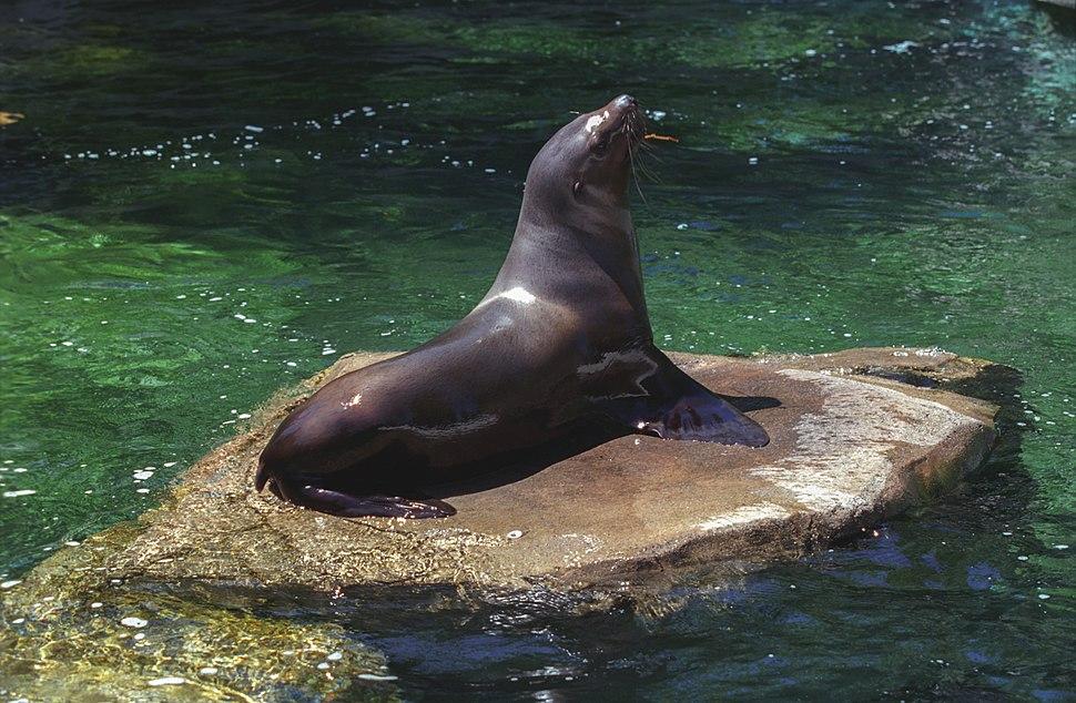 Steller Sea Lions(Vancouver)02(js)