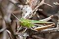 Stenobothrus lineatus female (2885462014).jpg