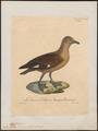 Stercorarius pomarinus - 1825-1834 - Print - Iconographia Zoologica - Special Collections University of Amsterdam - UBA01 IZ17900188.tif