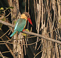 Stork-billed Kingfisher (Halcyon capensis) eyeing a prey in Kolkata W IMG 3555.jpg