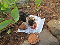 Stray garden cat eating 'Cat food'.JPG