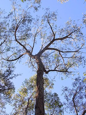 Description de l'image Stringybark Lawson Blue Mountains NP.jpg.