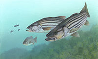 Striped bass FWS 1.jpg