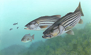 Illustration of a group of striped bass