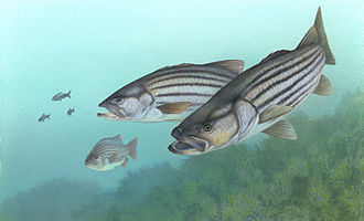 Striped bass fishing - Striped bass