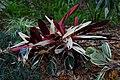 Stromanthe sanguinea (9059642158).jpg