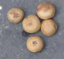 Strychnos potatorum 5.jpg