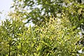 Styphnolobium japonicum - Bagrem (1)sdfvwe.jpg