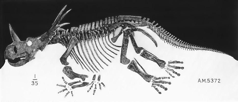 Styracosaurus skeleton AMNH5372