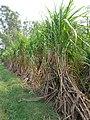 Sugarcane in Punjab.jpg