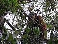 Sumatran orangutan (8188453328).jpg