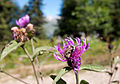 Svaneti Bumblebee-Kamanė (3872444870).jpg