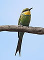 Swallow-tailed bee-eater, Merops hirundineus, at Marakele National Park, Limpopo, South Africa (23899344650).jpg