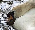 Swan (3594857737).jpg