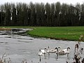 Swans on the River Wensum - geograph.org.uk - 667287.jpg