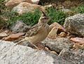 Sykes's Lark (Galerida deva) carrying feed W IMG 0787.jpg