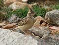 Sykes's Lark (Galerida deva) carrying feed W IMG 0787.jpg