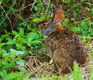 Sylvilagus palustris from Lake Woodruff National Wildlife Refuge - Flickr - Andrea Westmoreland.jpg