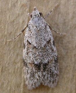 <i>Symmoca</i> Genus of moths