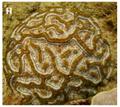 Symphyllia wilsonii.png